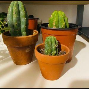 San Pedro cactus cuttings (large)